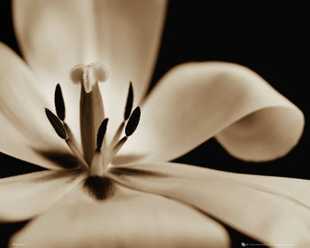Kvety - tulipán Poster