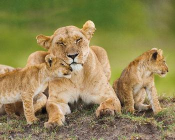 Lionne avec ses oursons Poster