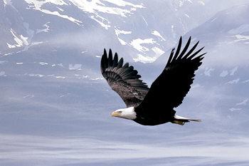 Bald eagle flying over Plakát