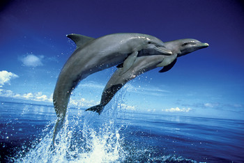 Dolphins - leap Plakát