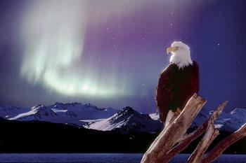 Eagle - aurora borealis Plakát