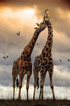 Giraffes - kissing Plakát
