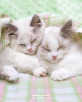 Keith Kimberlin - sleepy cats Plakát