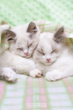 Keith Kimberlin – sleepy cats Plakát