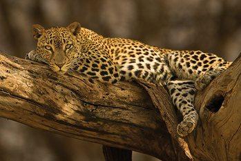 Leopard - tree plakát