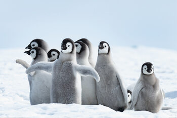 Plakát Pingvinjei - Family