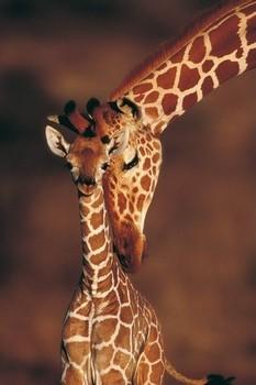 Tenderness- giraffes Plakát