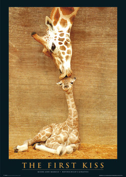 The first kiss - giraffes Plakát