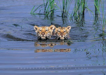 Tiger cubs - tigers in the water Plakát