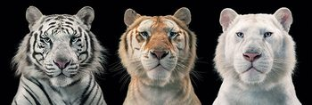 Tim Flach - tiger breeding series Plakát