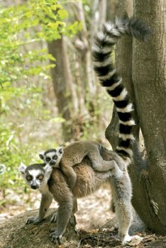 Plakat Lemury