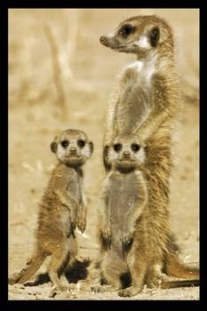 Plakat Meerkats