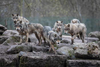 Plakat Wilki - Grey Wolf