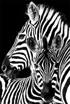 Zebra plakát, obraz