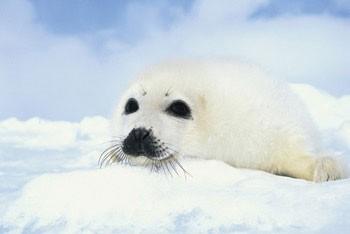 Poster Baby seal cub