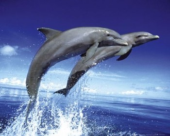 Poster Dolphins - leap