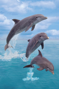 Poster Dolphins trio - portrait