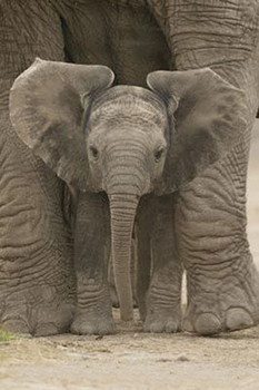Póster  Elefante - Big Ears
