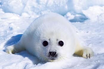 Poster Harp seal pup