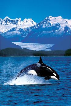 Poster Killer whale
