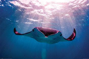 Póster Manta ray