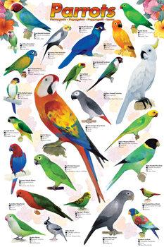 Poster Parrots