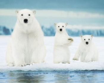 Polar Bears Poster / Kunst Poster