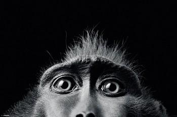 Poster Tim Flach - monkey eyes
