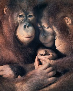 Poster Tim Flach - Orangutan Family