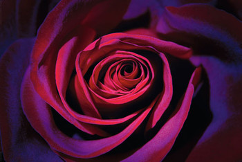 Dark purple rose Poster