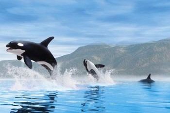 Orca whales Poster