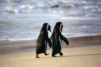 Penguins - beach Poster