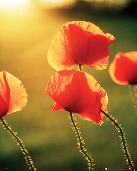 Poppies - Glow Poster