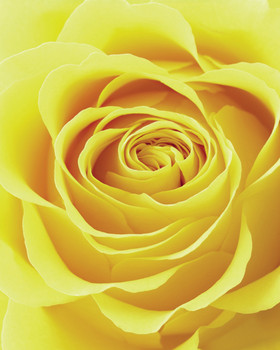 Rose - yellow Poster