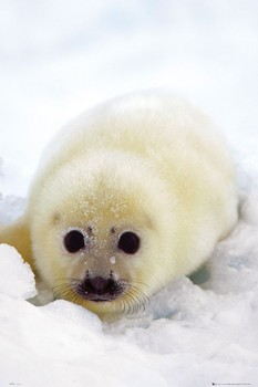 Seal cub Poster