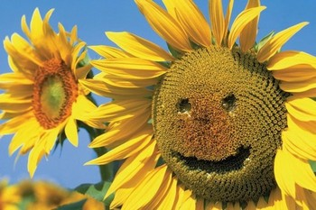Sunflowers smile Poster