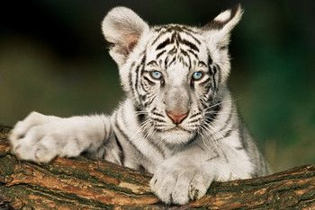 White tiger - cub Poster