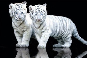 White tiger cubs Poster