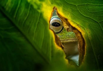 Peeking Frog Poster Mural XXL