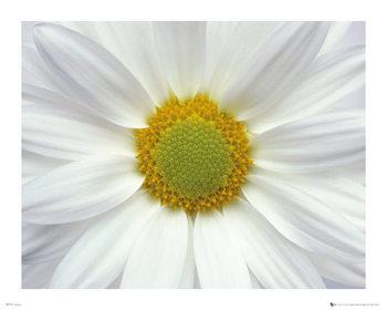 Poster Blommor - Tusensköna 2