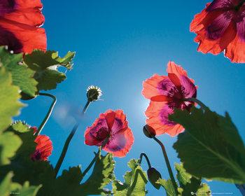 Poster Blommor - Vallmo