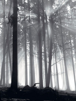 Poster Forest Dawn