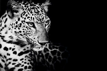 Poster Leopard - Kings of Nature