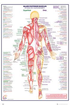 Poster Menschlicher Körper - Major Posterior Muscles
