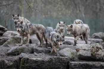 Плакат Wolves - Grey Wolf