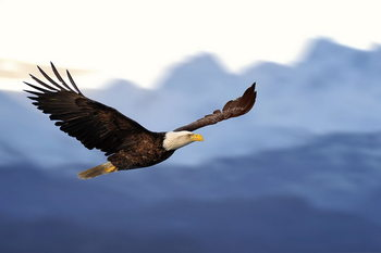 Flying Eagle Print på glas