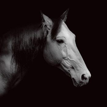 Horse - Head b&w Print på glas