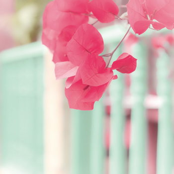 Pink Blossoms and Fence Print på glas