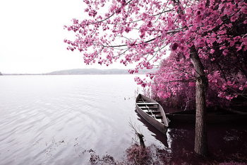 Pink World - Blossom Tree with Boat 1 Print på glas