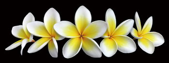 White Orchid Print på glas